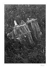 Stump (radspix) Tags: canon t90 50mm fd f18 kentmere 100 pmk pyro