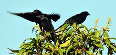 Bronzed Cowbird, Molothrus aeneus (asterisktom) Tags: mexico2019 chiapas mexico 2019 january bronzedcowbird molothrusaeneus cowbird bird vogel ave 鸟 птица 鳥 pajaro