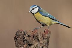 Cinciarella (Marcello Giardinazzo) Tags: cinciarella avifauna birds bird natura uccelli italia wild