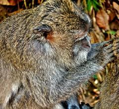INDONESIEN, Bali , unterwegs in Ubud , im Affenwald, lausige Zeiten, 17940/11162 (roba66) Tags: bali urlaub reisen travel explore voyages rundreise visit tourism roba66 asien asia indonesien indonesia insel island île insulaire isla ubud affenwald padangtegal monkeyforest monkey affen javaneraffen makaken macaca wild macaque tier tiere animal animals creature baboon