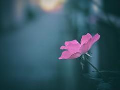 Towards a light (Kito K (fxkito2)) Tags: flower japan dof tokyo fineart bokeh lumix olympus nature color rose omd