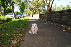 20181207-DSC01123 (PM Clark) Tags: chihuahua pure bred sydney park dog