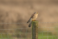Kestrel Burwell Fen-5985 (seandarcy2) Tags: falcon kestrel birdsofprey raptors bif handheld burwellfen cambs uk fenland birds wildlife