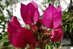 Drillingsblume (Gartenzauber) Tags: floralfantasy