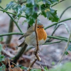 Robin underneath holly (Lux Aeterna - Eternal Light) Tags: winter holly bird robin
