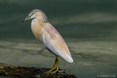 Ardeola ralloides (Sgarza ciuffetto, Squacco heron). (Ciminus) Tags: naturesubjects aves ornitologia ardeolaralloides nature ciminus birds ciminodelbufalo wildlife ornitology afsnikkor80400vr oiseaux nikond810 nikon squaccoheron uccelli sgarzaciuffetto