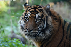 Sumatran tiger - Diergaarde Blijdorp (Mandenno photography) Tags: animal animals dierenpark dierentuin dieren zoo diergaarde blijdorp ngc nature tiger tijger tigers tijgers cat cats bigcat big nederland netherlands