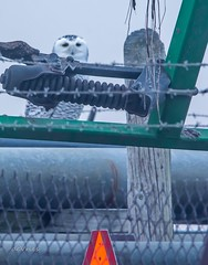 I'd know that look anywhere . . . (Dr. Farnsworth) Tags: owl snowyowl bird farm equipment fog muskegon mi michigan fall december2018