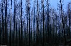 Scorched (Mauro Hilário) Tags: fire forest monchique portugal burned algarve trees fog mist gray black vertical