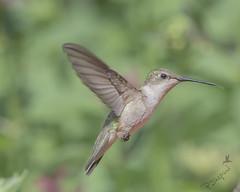 Summer Memories 6-17-18_197 (pmsswim) Tags: summermemories rubythroatedhummingbird femalerubythroatedhummingbird archilochuscolubris colibri summer june 2018