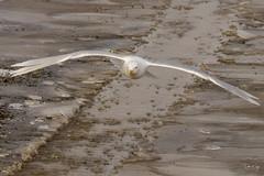 Incoming Gull (Dan King Alaskan Photography) Tags: glaucousgull larushyperboreus seagull gull avian bird northslope alaska canon80d sigma150600mm