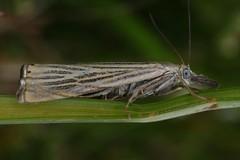 Chrysoteuchia culmella, le crambus des jardins. (chug14) Tags: