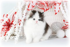 Cute Kitten Pictures (dollfacepersiankittens.com) Tags: christmas persian kittens for sale doll face cattery love winter cats catsofinstagram catstagram catsofgoogle catsoftheworld catsoftumblr picoftheday pictures photos photography feline felines animal animals cat kitten