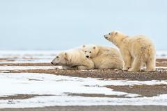 At Rest But Alert (Glatz Nature Photography) Tags: eyecontact alaska arctic arcticalaska barterisland glatznaturephotography kaktovik nanook nanuk nanuq nikond850 northamerica polarbear ursusmaritimus wildanimal wildlife