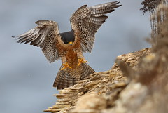 Xena landing on rock (charlescpan) Tags: