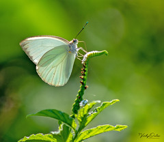 White butterfly (vickyouten) Tags: whitebutterfly butterfly butterflies nature wildlife nikon nikond7200 nikonphotography nikkor55300mm falmouth jamaica vickyouten