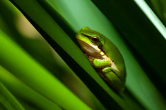 frog-3 (Roz B) Tags: approved frog green