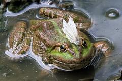 Frosch mit Passagier / Frog and butterfly (uwe125) Tags: blinder passagier fly frog frosch amphibians insects insekten amphibien animals tiere schmetterling butterfly macro makro