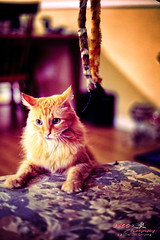 You're Not Playing Fair (1300 Photography) Tags: nikon z6 affinityphoto affinity 50mm 14 wideopen cat feline pet petportrait pets