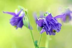Aquilegia - Columbine - Akelei (Mah Nava) Tags: aquilegia columbine akelei ancolle aquilegiavulgaris lilac lila