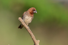 Scaly-breasted Munia, South Goa, India c (JohnMannPhoto) Tags: scalybreastedmunia southgoa india