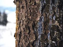 coloured (Anna M. Sky) Tags: forest winter colour blue wood bark tree