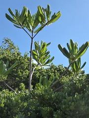 Half Moon Cay, Bahamas, Day 4 -- Caribbean Cruise Vacation, Nature Walk, Tropical Vegetation (Mary Warren 12.9+ Million Views) Tags: halfmooncay bahamas hollandamerica cruise caribbeancruise island nature flora plants green leaves foliage tropical