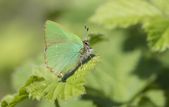Green Hairstreak (Callophrys rubi). (Bob Eade) Tags: greenhairstreak callophrysrubi lycaenidae lepidoptera seaford eastsussex sussex southdownsnationalpark macro green downland butterfly insect hairstreak hawthorn spring