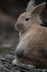 長谷寺(佐渡)のウサギ (edo420) Tags: d5 500mmf56 pflens pfレンズ ウサギ うさぎ 兎 rabbit sado 佐渡 新潟 長谷寺 japan