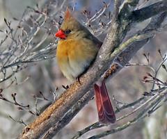 Cardinalis cardinalis (northern cardinal) 16 (James St. John) Tags: cardinalis northern cardinal cardinals bird birds winter january 2019 newark licking county ohio