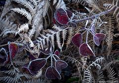 Frosted thorns amongst the ferns (zolaczakl) Tags: bristol blaisecastleestate blaisecastleestatebristol theroyals ferns frost photographybyjeremyfennell jeremyfennellphotography 2019 nikond800 nikonafsnikkor50mmf18glens uk england