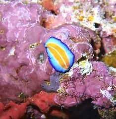 Turbellaria (kmlk2000) Tags: maldives vacation sea ocean sealife sun blue underwater fish poisson beach reef