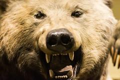 Bear - Natural History Museum London (nickstone333) Tags: naturalhistorymuseum london museum bear grizzlybear ursusarctos atxm100afprod tokinaaf100mmf28macro nikon nikond7100 d7100