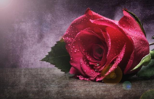 Обои капли, макро, роза, бутон картинки на рабочий стол, раздел цветы - скачать