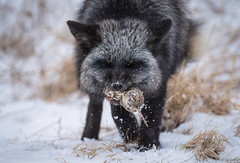 Fox And Vole (Melissa M McCarthy) Tags: silverfox fox animal nature outdoor wildlife wild vole rodent mammal hunt hunting eating closeup winter snow black grey gray white action signalhill stjohns newfoundland canada canon7dmarkii canon100400isii