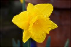 Daffodil (Caulker) Tags: daffodil