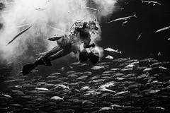Dive In (D-Noc) Tags: nordsøen hirtshals oceanarium diver fish monochrome denmark danmark jylland nordjylland blackandwhite