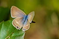 ウラナミシジミ Long-tailed Blue (takapata) Tags: sony sel90m28g ilce7m2 macro nature insect butterfly