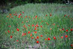 Champs de coquelicots (RIch-ART In PIXELS) Tags: coquelicot tarerach pyrénéesorientales pyrénées france flower field pavot poppy grass languedocroussillon nikon fleur red flowering flora