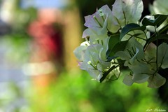 _Q9R0529 (Dream Delivered (Dreamer.Thanks for +6.000.000 vi) Tags: natureinfocusgroup flowers nature bokeh