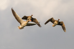Flying geese (BenBoda) Tags: wildlife nature animal birds birdphotography waterbird geese fly formation