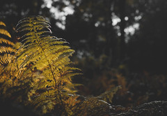 Fern (V Photography and Art) Tags: fern autumn autumnlight nature forest