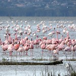 Lesser flamingo - Phoenicoparrus minor