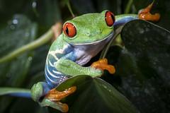 RANA OJOS ROJOS Agalychnis callidryas (photojordi®) Tags: agalychnis callidryas rana ojos rojos red eyes frog