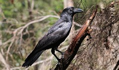 Torresian Crow 221018 (8) (F) (Richard Collier - Wildlife and Travel Photography) Tags: australia australianbirds birds wildlife naturalhistory nature torresiancrow easternaustralia ngc npc