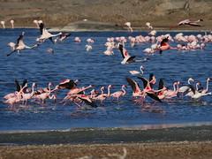 P1118283 (carlo) Tags: panasonic g9 dmcg9 africa africanlandscape namibia flamingos