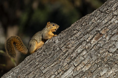 Fox Squirrel (Stephen J Pollard (Loud Music Lover of Nature)) Tags: sciurusniger ardillazorra foxsquirrel mammal mamífero
