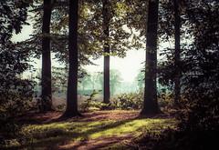 Forest vista (Ingeborg Ruyken) Tags: 2018 autumn october woods berlicum fall flickr herfst ochtend morning wamberg tree forest oktober natuurfotografie 500pxs instagram shertogenbosch bos