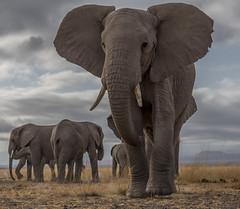 _A130201 (BergsPix) Tags: elephants africa kenya safari amboseli masaai mara samburu tusks mammals