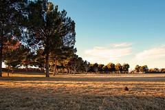 Sunset Park Vegas (Roland Koenecke) Tags: vegas sunsetpark park trees tree leafs sun fircone